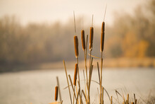 A Selective Focus Shot Of Cattails By A Lake