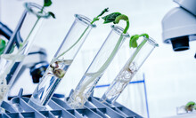 Genetically Modified Plant Tested  .Ecology Laboratory Exploring New Methods Of Plant Breeding