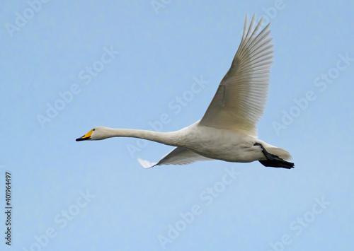 Foto Cygnus cygnus, Sångsvan, whooper swan