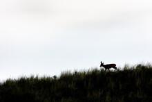 European Roe Deer (Capreolus Capreolus) On The East Frisian Island Juist, Germany.