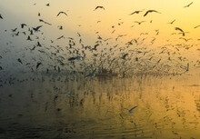 Siberian Seagulls At The Nigam Bodh Ghat In Delhi