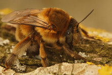 Brullé's Digger Or Anthophora Affinis Is A Really Big Solitary Bee Making A Rather Deep Buzzy Sound