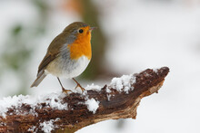A Closeup Shot Of Robin Bird Perched On Tree Branch Covered With Snow