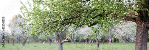 Obraz na płótnie Blooming pear branch in the spring garden