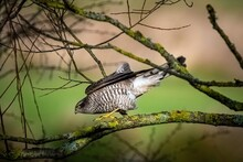 Sparrow Hawk On The Hunt