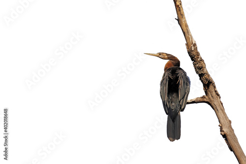 Photo African Darter (Anhinga rufa) for powerpoint
