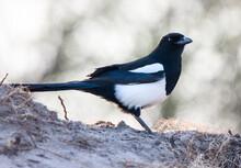 Magpie In Saskatchewan