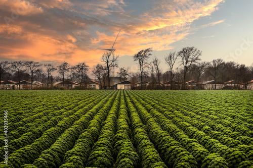 Fototapeta kale rows of field obraz