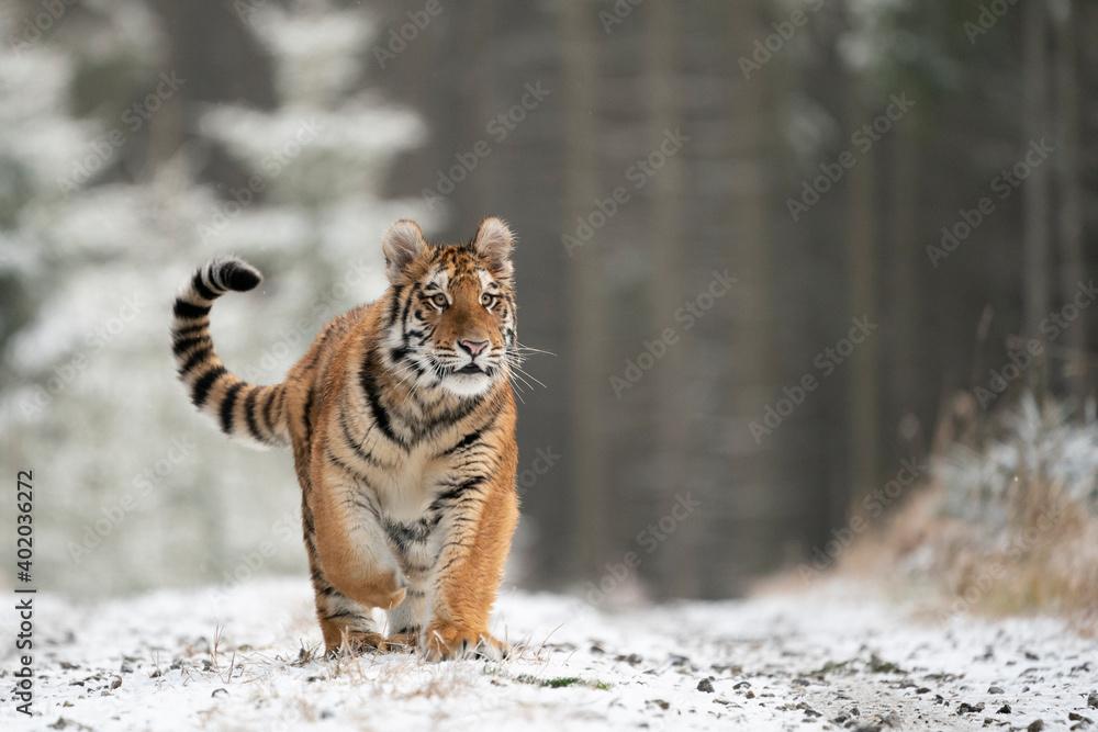 Fototapeta young siberian/bengal tiger, captive
