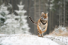 Young Siberian/bengal Tiger, Captive