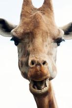 Portrait Of A Pretty Giraffe Giraffa