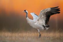 Common Crane ( Grus Grus ) At Sunrise