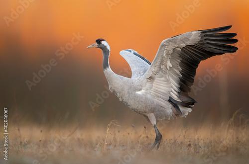 Fototapeta premium Common crane ( Grus grus ) at sunrise
