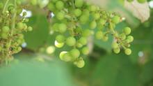 A Closeup Shot Of Riping Green Grapes On The Vines