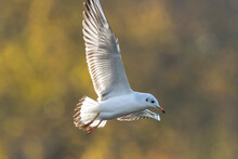 Black-headed Gull, Chroicocephalus Ridibundus, Flying