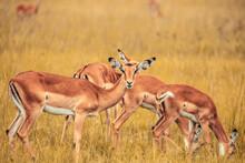 A Selective Focus Closeup Of A Herd Of Antelope Grazing On A Grass Field