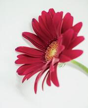 Macro Fuchsia Gerbera Daisy Isolated On White Background