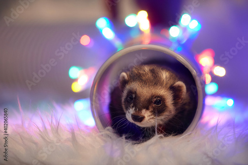 Studio portrait of adult ferret in tunnel toy with led lights Fototapet