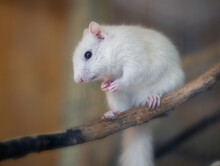 Cute White Albino Squirrel Sitting On A Branch