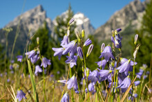 Alpine Shooting Stars In Summer Field Below Tetons Mountains