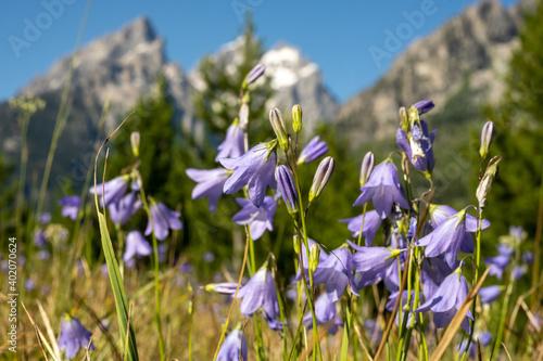 Obraz na plátne Alpine Shooting Stars in Summer Field Below Tetons Mountains