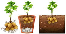Set Of Potato Plant With Roots Isolated On White Background
