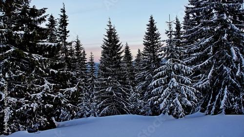 winter morning in a snowy wild forest in Carpathian moutains in Ukraine