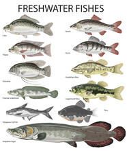 Freshwater Fish, Carp, Perch, Roach, Tilapia, Gouramy, Snakehead, Catfish, Arapaima - Vector