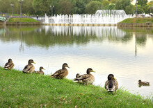 Mallard Ducks In The Grass. A Group Of Wild Birds Sits On The Lake Shore Against The Background Of A Fountain