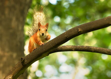 Red Squirrel On A Branch. Forest Funny Cute Red Animal Rodent Sitting On A Tree Branch In Full-face Close-up