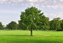 Oak In The Park. Wide Green Lawn With Free-standing Trees