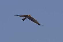 Black Kite Isolated On Sky