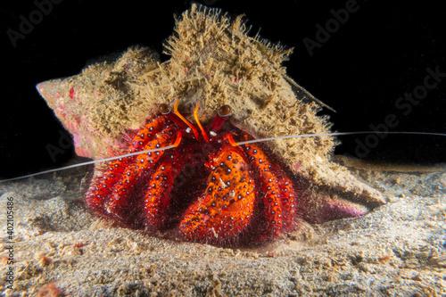 Fotografia White-spotted Hermit Crab (Dardanus megistos) walking on a sandy bottom near Anilao, Batangas, Philippines