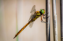 A Closeup Of A Dragonfly Sitting On A Stem Of A Plant On Blurred Background
