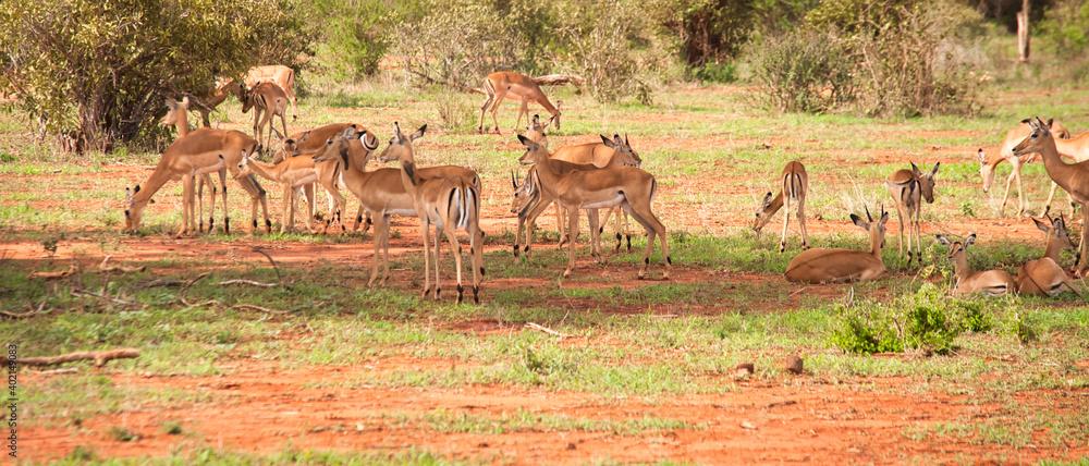 Fototapeta stado antylop na afrykańskiej sawannie