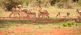 Fototapeta Sawanna - stado antylop na afrykańskiej sawannie