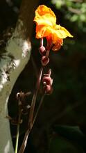 Vertical Closeup Shot Of An Orange Canna Flower