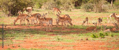 Fototapeta stado antylop na afrykańskiej sawannie obraz