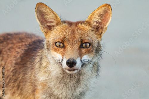 ritratto di volpe Fototapeta