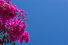 Pink Bougainvillea Flowers Against Blue Sky