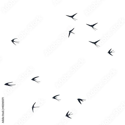 Fototapeta Flying martlet birds silhouettes vector illustration. Nomadic martlets group isolated on white. obraz