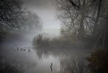 Kanadagänse In Einem Teich Und Nebel!