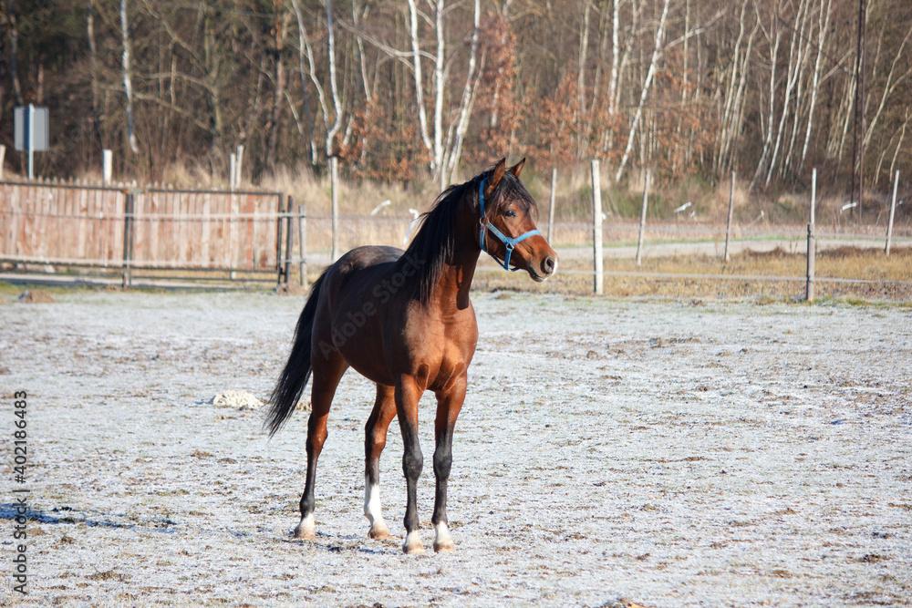 Fototapeta Gniady koń biegający po wybiegu w czasie zimy