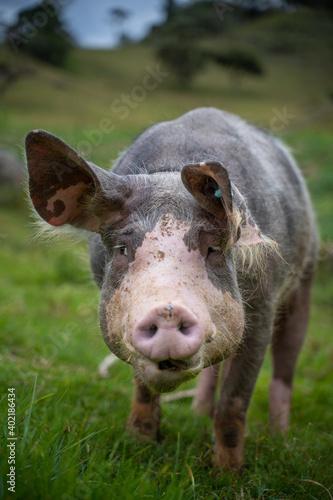 Cerdo Colombiano Tapéta, Fotótapéta
