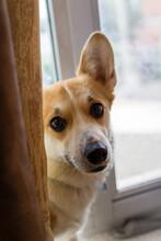 Corgi Dog Looking From Behind A Curtain