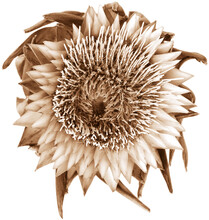 Single Isolated Sepia Dried Artichoke Flower Top View On White Background