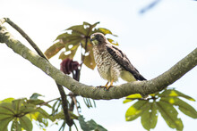 Peregrine Falcon Perched On A Branch