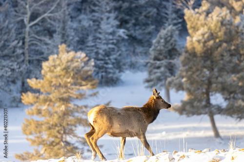 Young Elk Cow