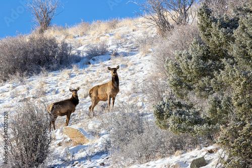 Herd of Rocky Mountain Elk