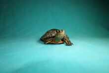 Terrapin, Turtle Isolated On A Green Background. Caspian Turtle Or Striped Neck Terrapin (Mauremys Caspica) Close Up Of A Reptile. Tortoise, Reptiles, Animal, Animals, Pets, Pet, Wildlife, Wild Nature
